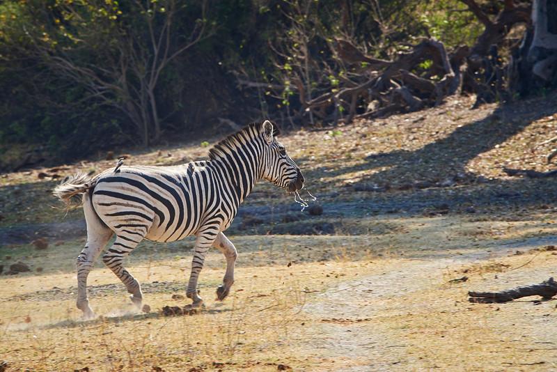 Zebra leaving water hole