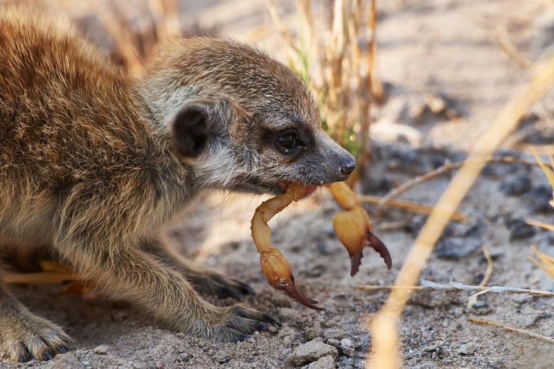 Meerkat pup eating scorpion