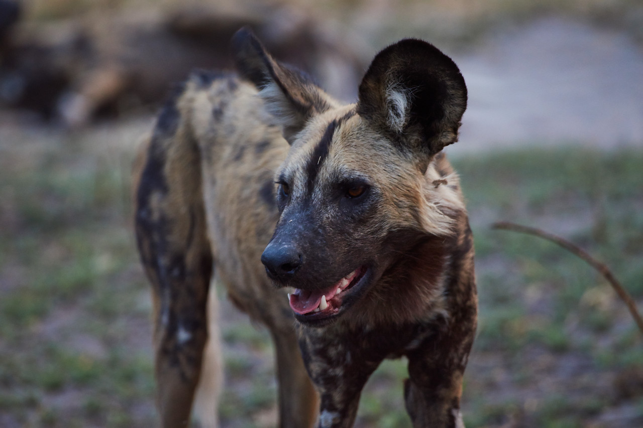 Alpha Female Wild dog