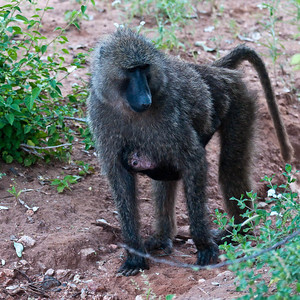 Baboon with baby