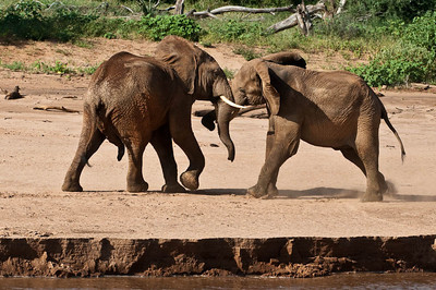 Three elephants playing by the river