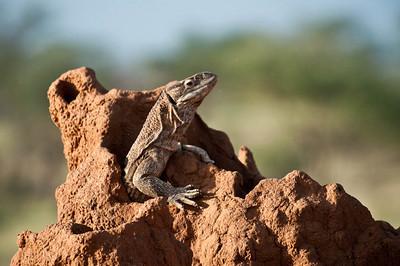 Lizard on a termite hill