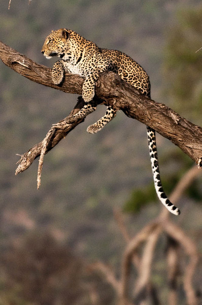 Leopard watching for dinner to come along