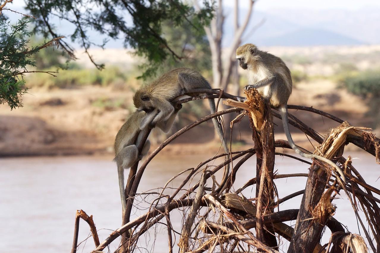 Vervet monkeys at play