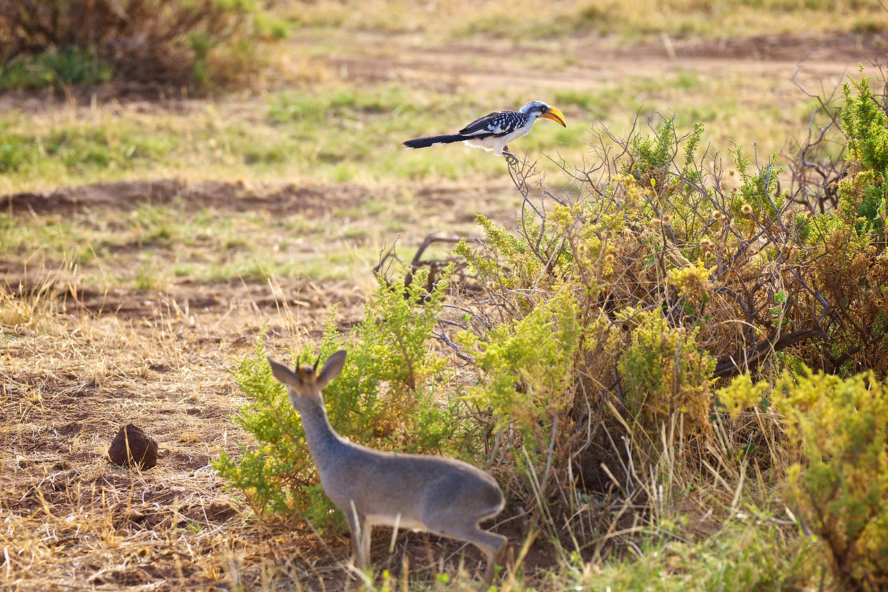 orange billed hornbill and dik dik
