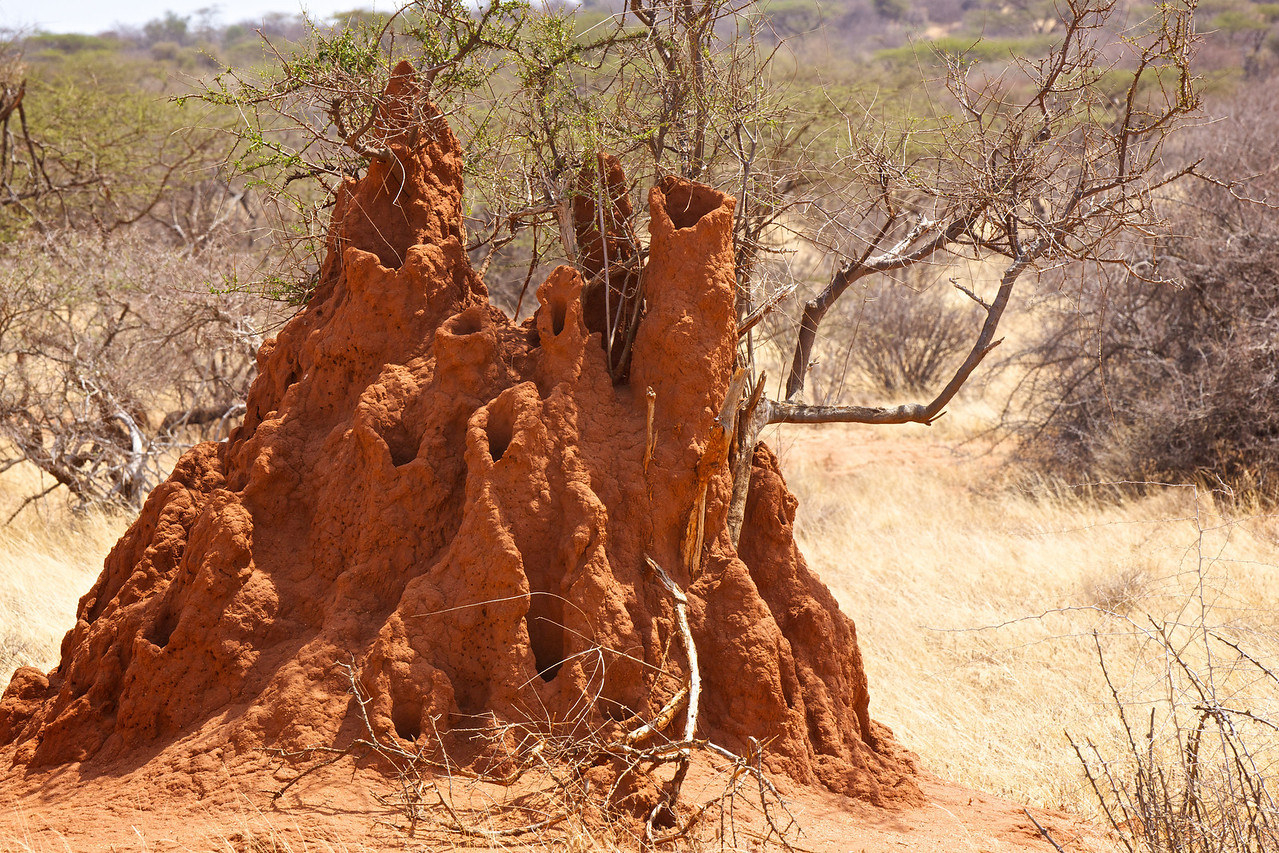 Termite mound - note it is built around a living tree.