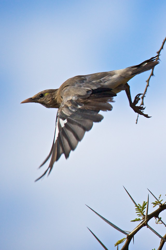 wattled starling  (1/2000 second)