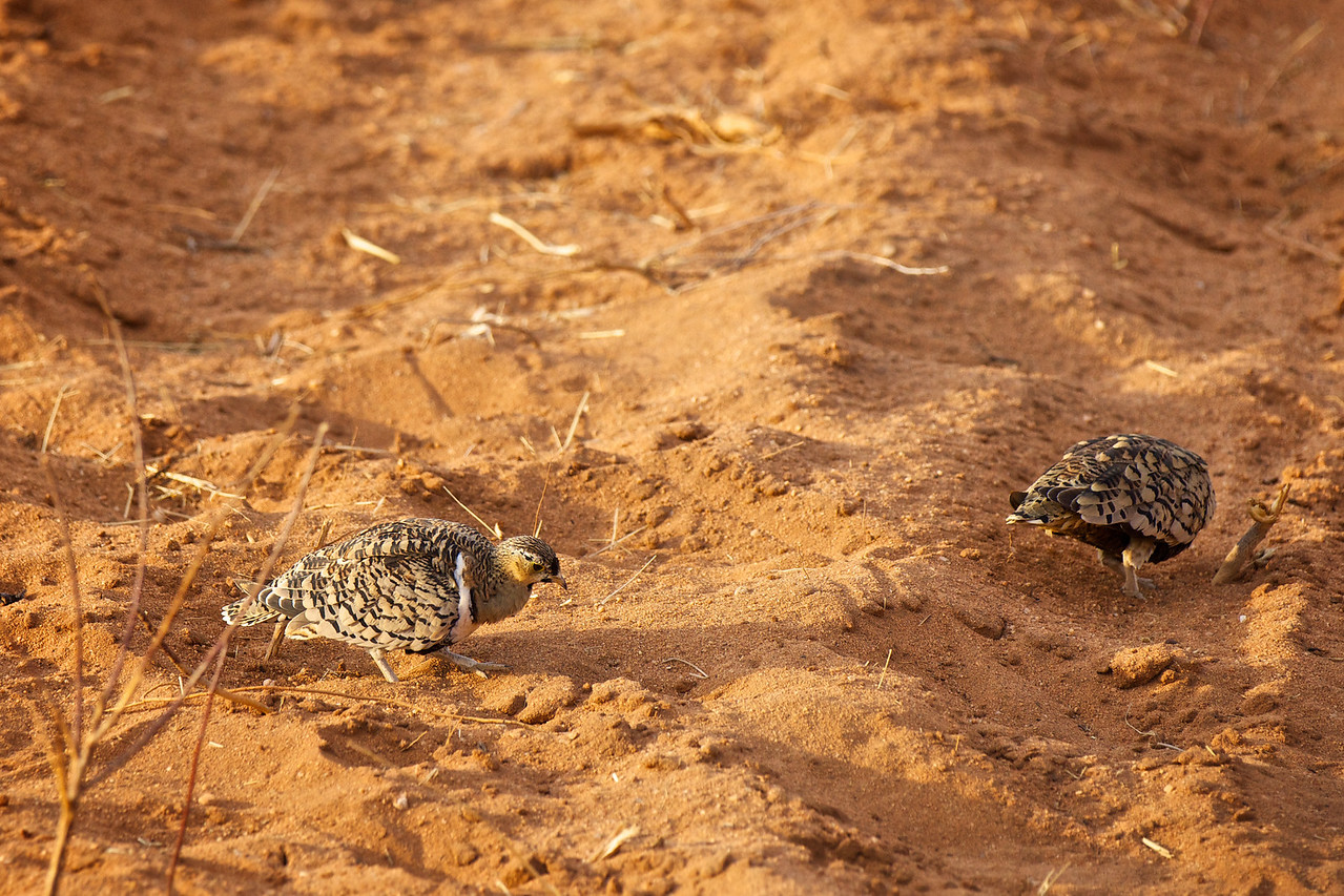 Yellow throated Sandgrouse