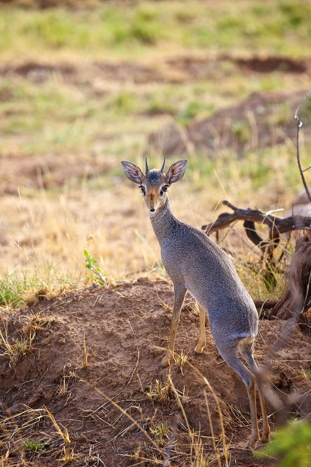 Dik Dik - the littlest antelope