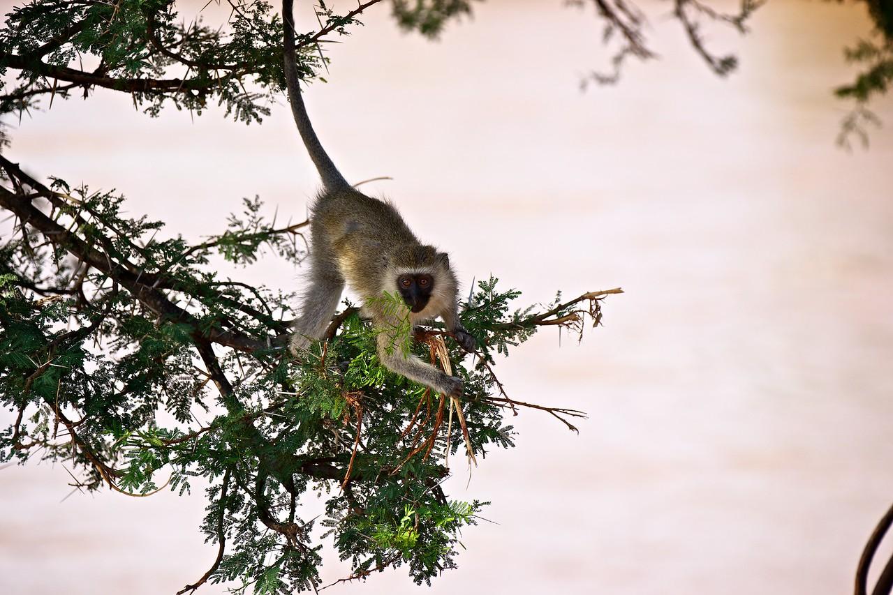 Alley Oop (vervet monkey)