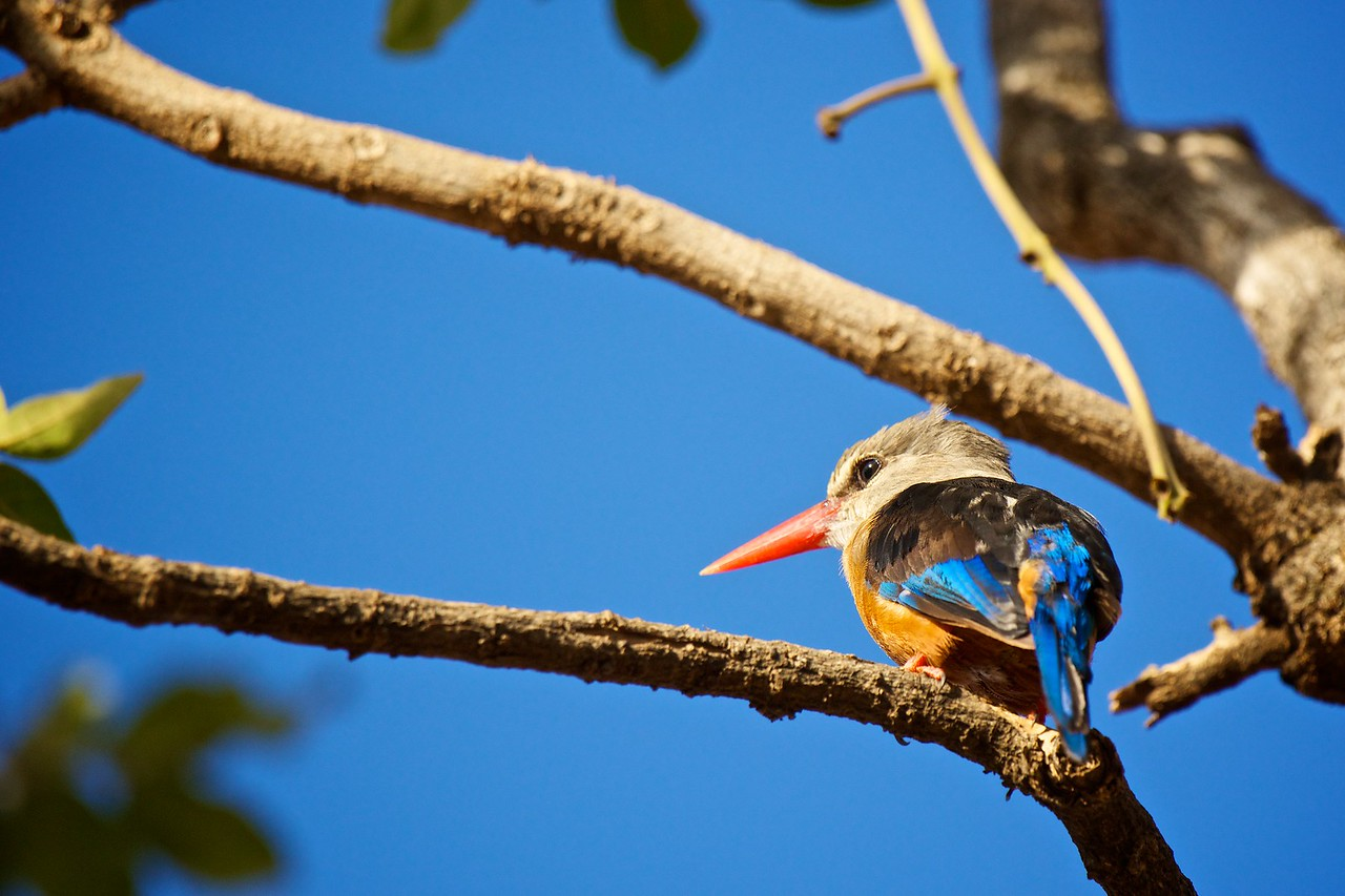 gray headed kingfisher - a drab name for a colorful bird