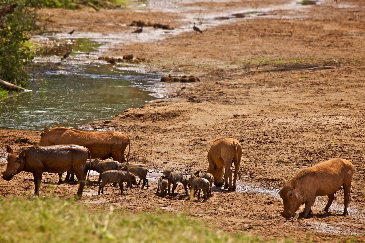 Warthogs enjoying some cool mud.