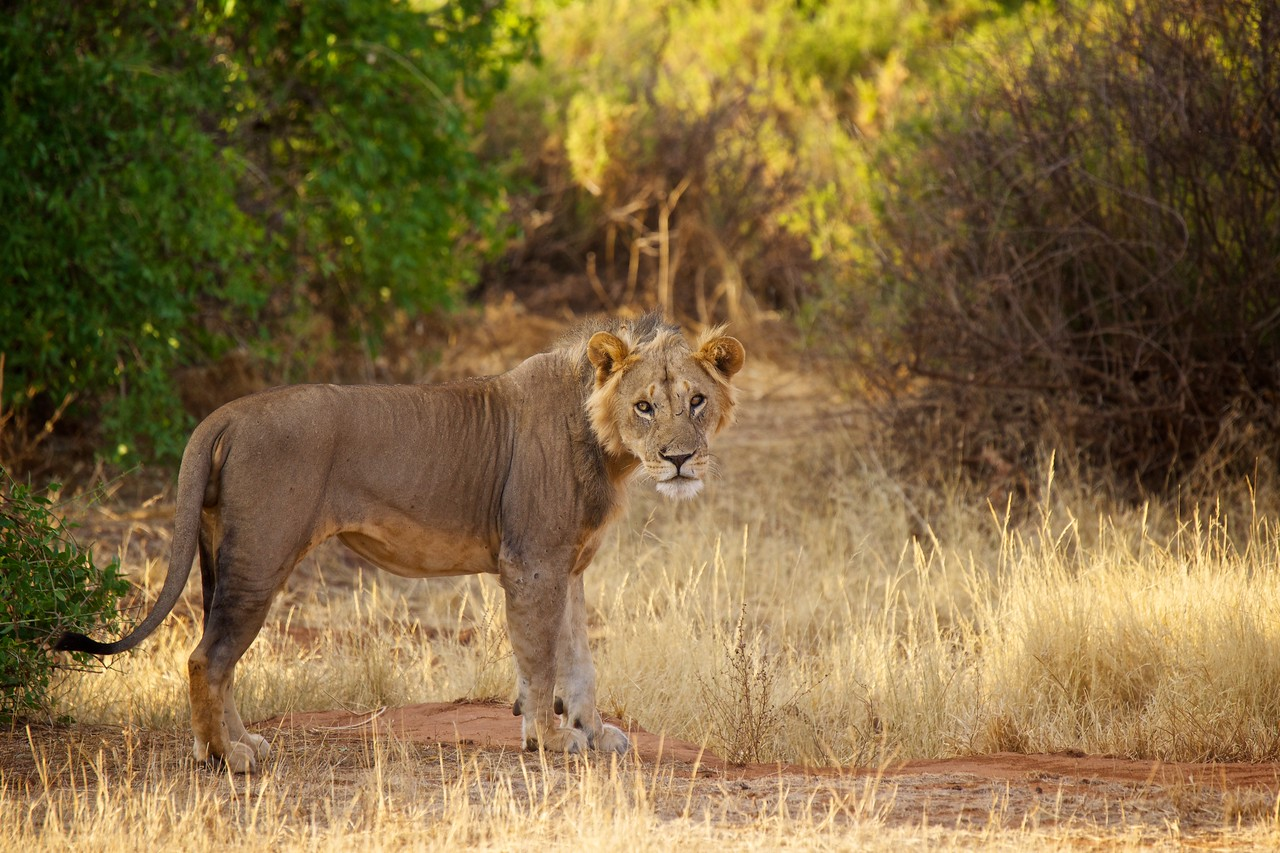Samba (lion) in the bush - youngish male