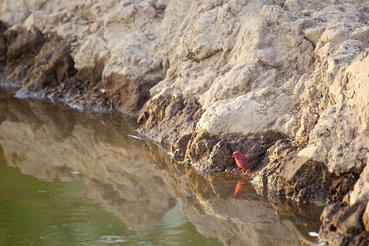 Flame Sparrow
