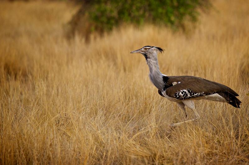 Kori Bustard - the heaviest bird that flies.