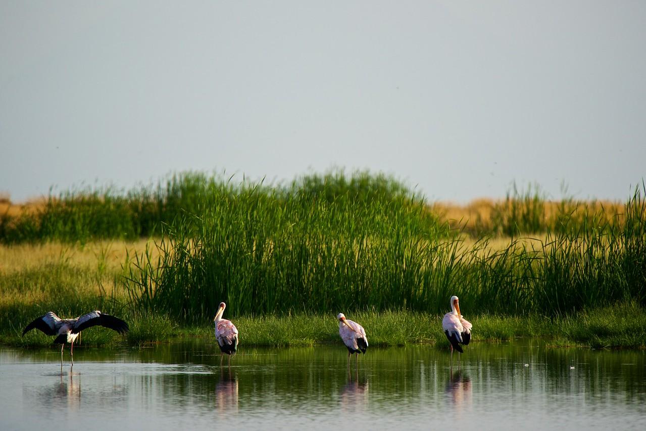 Horn Billed Storks