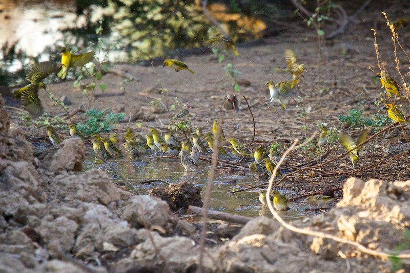 Green Capped Eremomela at the water hole