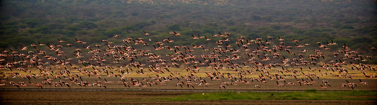 Greater Flamingos #2