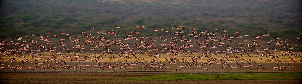 Greater Flamingos #2