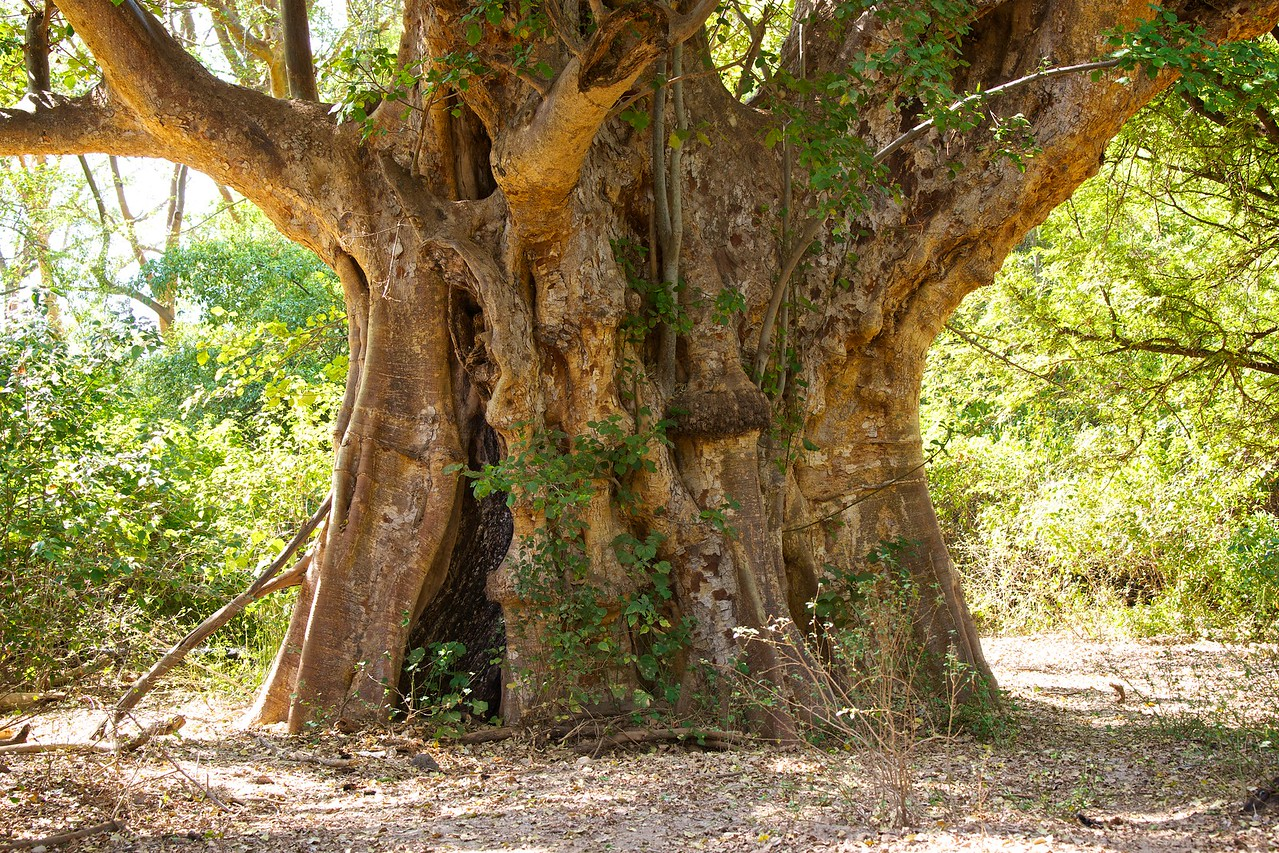 An old fig tree