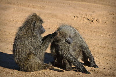 Then we saw some silly baboons - doing the grooming thing
