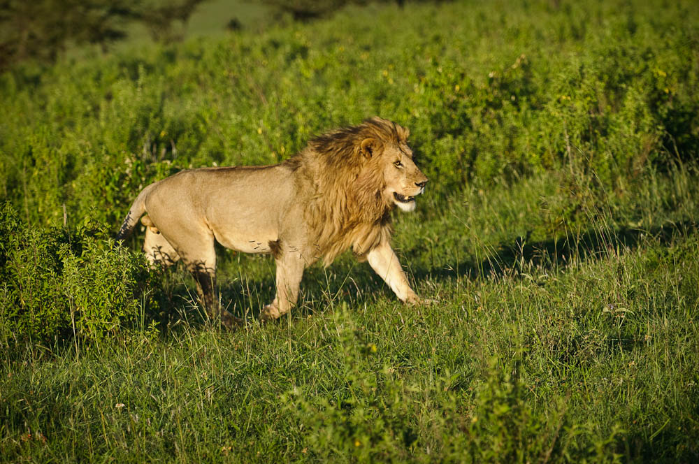 He is running towards the  Big simbas consider younger ones threats for the future and often kill them - yikes!