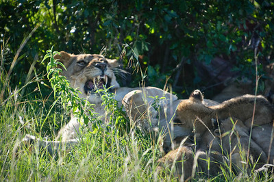 We went on another game drive later in the day and ended up at the same place we saw the two females and six cubs.