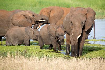 Family of African Bush Elephants (Loxodonta africana)