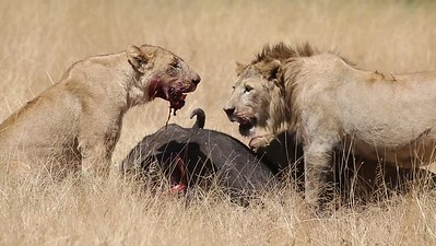 Lions eating a Cape Buffalo - please don't watch if blood offends you!
