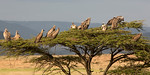 Tree full of Ruppell's Griffon Vultures