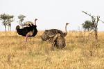 Pair of Ostrich in a mating display of wing flapping