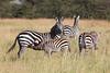 Mother Zebra nursing her Foal (Equus quagga)