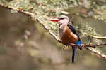 Gray-headed Kingfisher (Halcyon leucocephala)