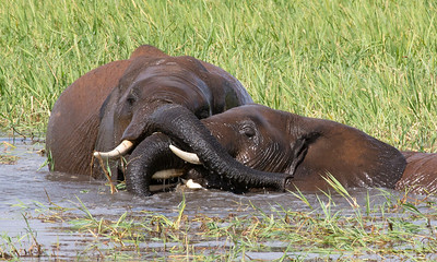 Tangle of Tusks and Trunks