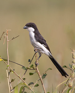 Long-tailed Fiscal (Lanius cabanisi)