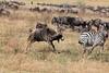 Wildebeest - Zebra