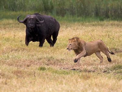 Lion and Cape Buffalo