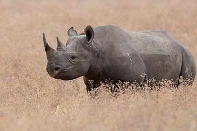 Black Rhinoceros up close (Diceros bicornis)