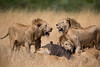 A Lioness with her four growth cubs take down a cape buffalo.