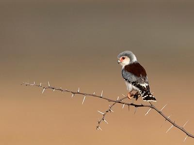 Female African Pygmy Falcon