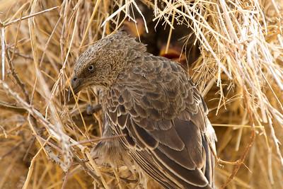 Rufous-tailed Weaver (Histurgops ruficaudus) wth chicks