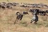 Wildebeest out of control