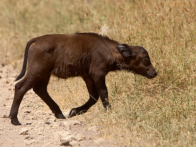 Very young Cape Buffalo (Syncerus caffer)