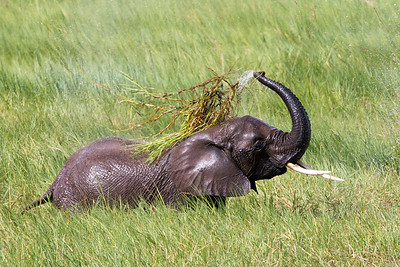 African Bush Elephant - Living Wild and Free