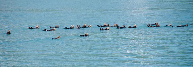 A whole raft of Sea Otters