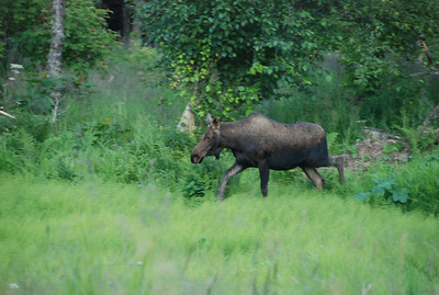 Moose outside our cabin