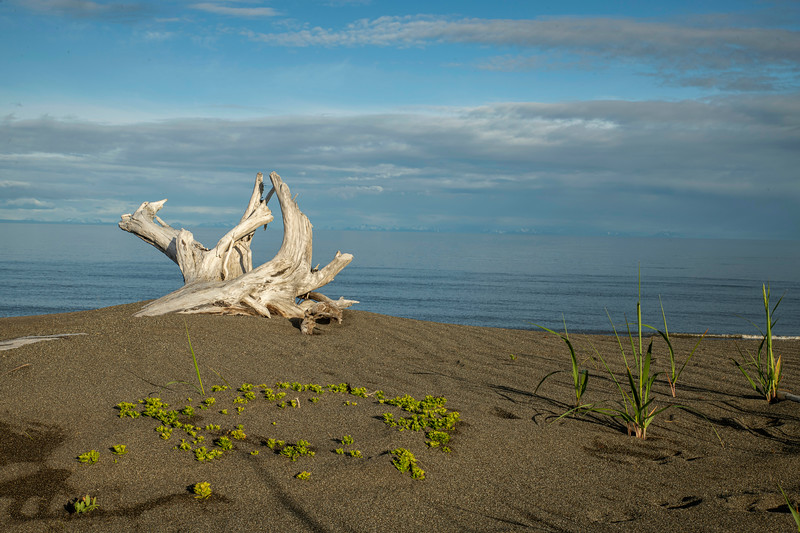 Old withered tree at Cook Inlet