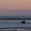 MGB-13-447-76: Alaskan Brown Bear fishing at twilight