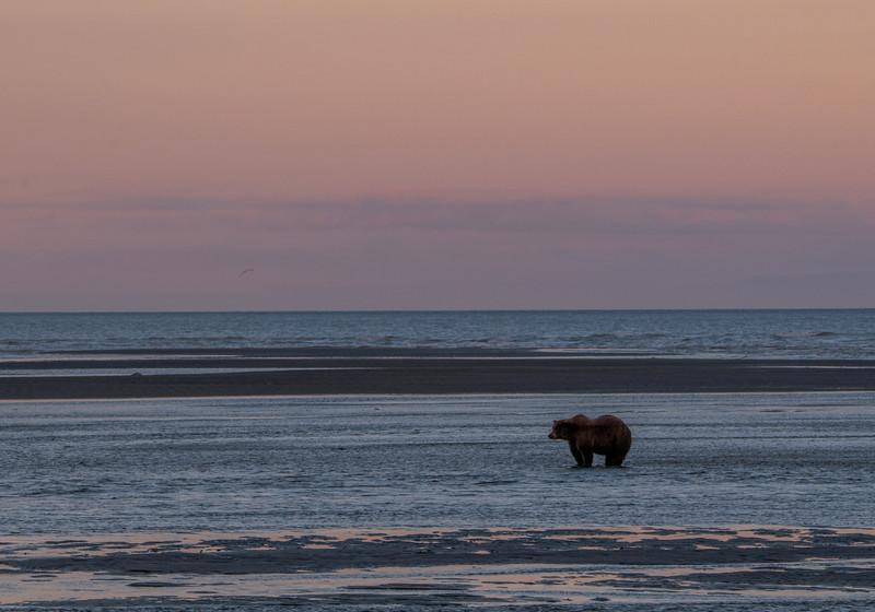 MGB-13-447-76: Alaskan Brown Bear fishing at twilight