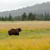MGB-13-447-126: Alaskan Brown Bear in sedge meadow at Lake Clark National Park